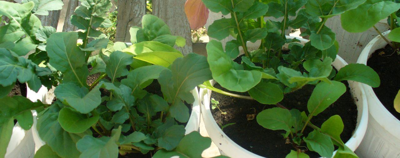 Руколата – полезно растение, лесно за отглеждане